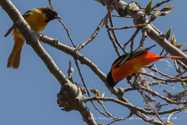 A male Baltimore Oriole nest building, with his female partner looking on.  Photo copyright 2014, Eddie Wren.  All rights reserved.