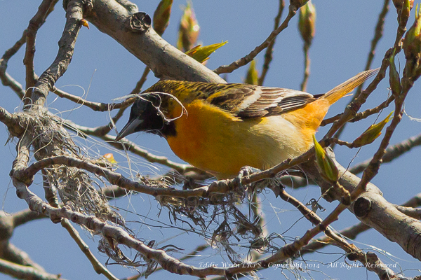 A female Baltimore Oriole examines the early stages of her nest.  Photo copyright 2014, Eddie Wren.  All rights reserved.
