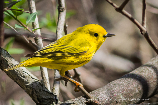 Another Yellow Warbler, glowing in the full sunshine.  Photo copyright 2014, Eddie Wren.  All rights reserved.