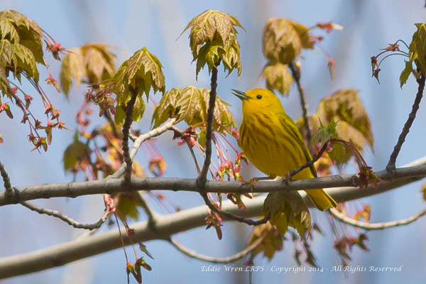 A bright Yellow Warbler, surprisingly well camouflaged amongst the opening buds.  Photo copyright 2014, Eddie Wren. All rights reserved.