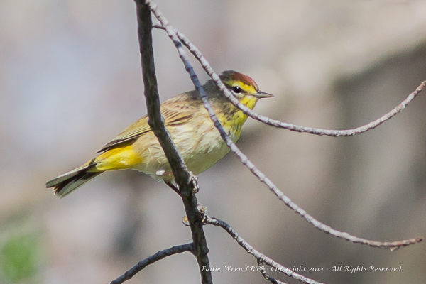 The rufous-capped Palm Warbler.  Photo copyright 2014, Eddie Wren.  All Rights reserved.