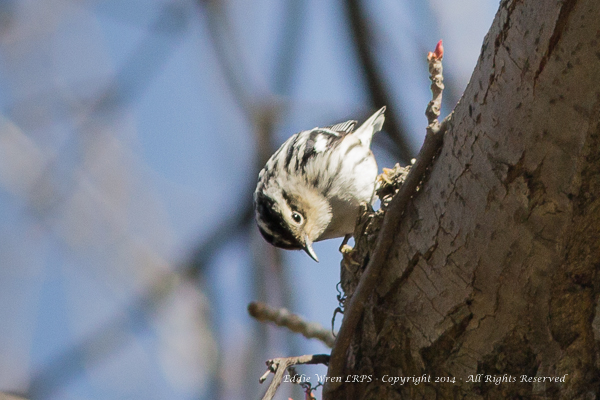 The delightful Black & White Warbler, the only bird in North America except nuthatches that can walk down as well as up tree trunks.  Photo copyright 2014, Eddie Wren.  All Rights reserved.