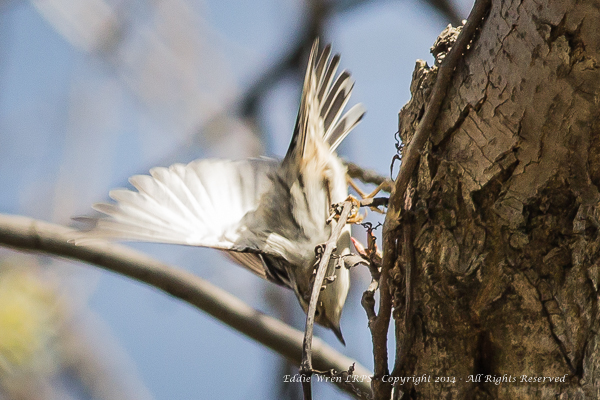 An acrobatic Black & White Warbler.  Photo copyright 2014, Eddie Wren.  All Rights reserved.