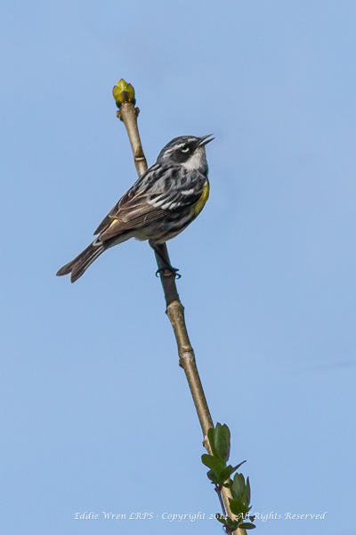 A Yellow-rumped Warbler in full song.  Photo copyright 2014, Eddie Wren.  All Rights reserved.