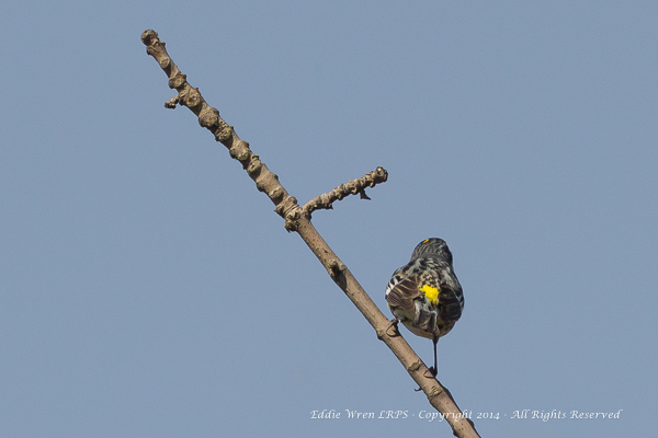 The yellow rump of a Yellow-Rumped Warbler!  Photo copyright 2014, Eddie Wren.  All Rights reserved.