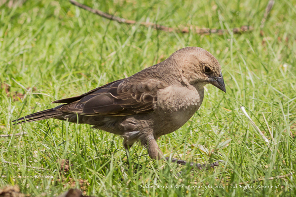 A female Brown-headed Cowbird, looking positively prehistoric! Photo copyright 2014, Eddie Wren. All rights reserved.