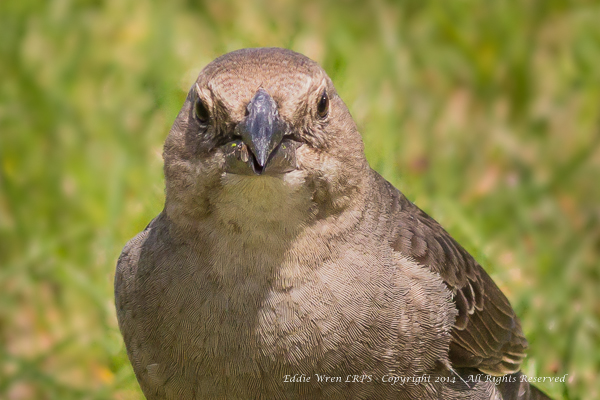 The same female Brown-headed Cowbird, looking positively pugnacious!  Photo copyright 2014, Eddie Wren. All rights reserved.