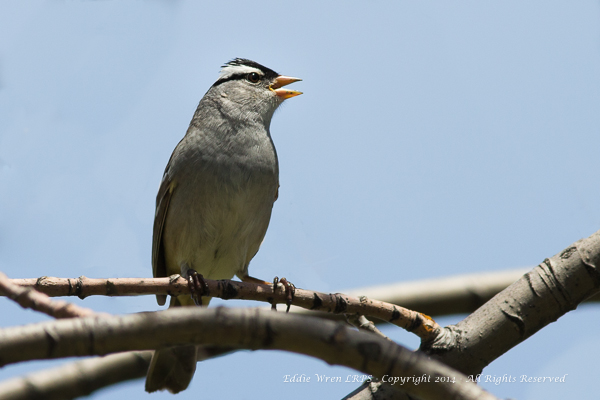 White-crowned Sparrow.  Photo copyright 2014, Eddie Wren. All rights reserved.