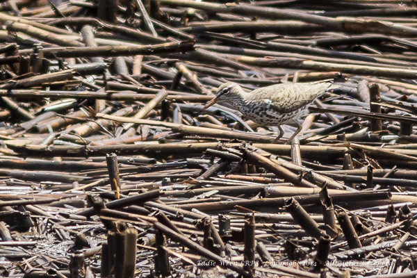 Spotted Sandpiper.  Photo copyright 2014, Eddie Wren.  All Rights reserved.