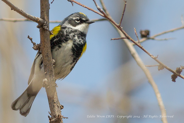 The ubiquitous Yellow-rumped Warbler.  Photo copyright 2014, Eddie Wren.  All Rights reserved.
