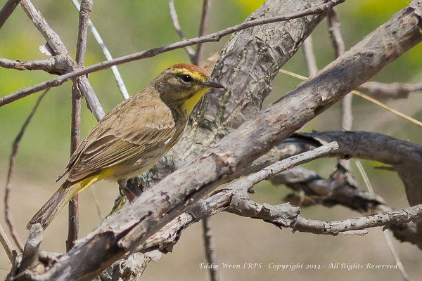 Palm Warbler. Photo copyright 2014, Eddie Wren.  All Rights reserved.