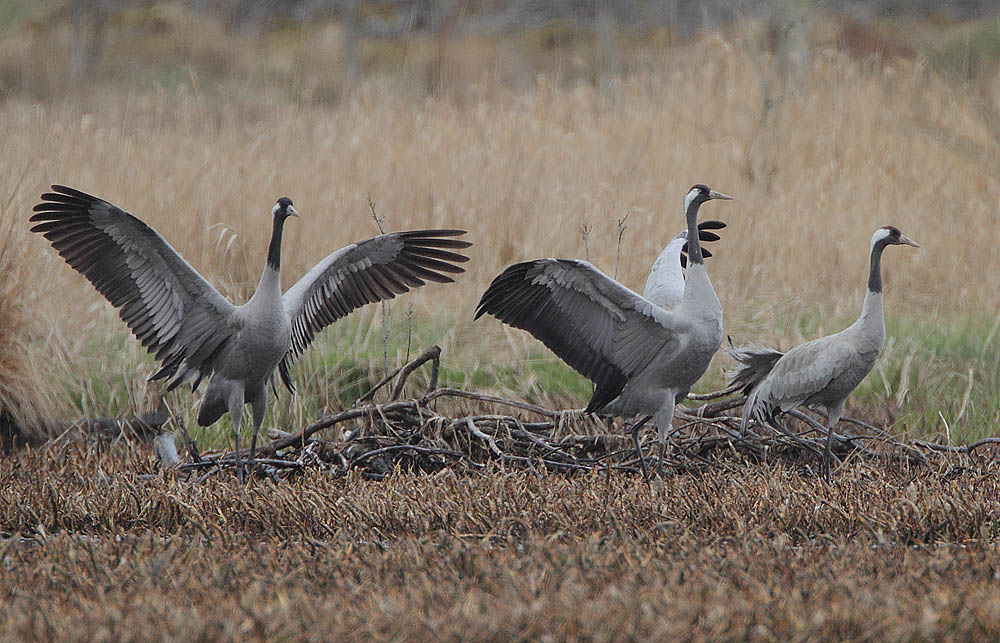 Eurasian Cranes (Grus grus), last known to have nested in Britain in the 16th Century.  (Wikimedia Commons)