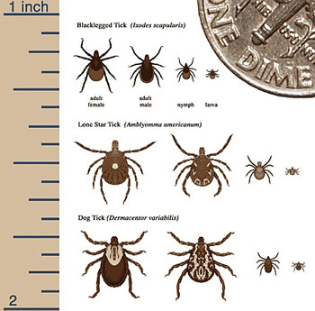Ticks are tiny when they first bite but dig themselves into the host's flesh (which is painless) and swell as  and they suck the blood.  You will NOT feel them doing it and MUST check your body. Source: CDC and Wikimedia Commons