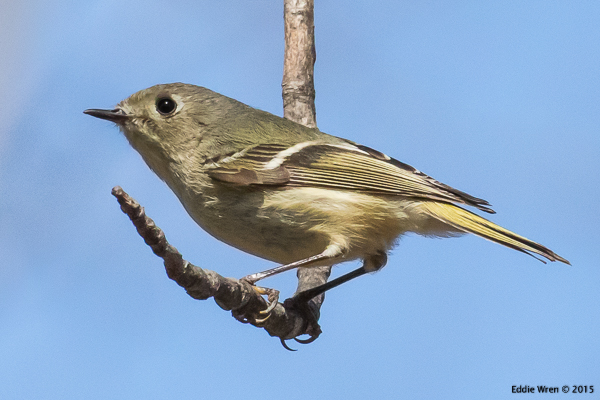 Ruby-crowned Kinglet at Five Rivers - April 2015