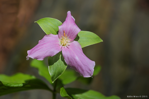 A Trillium (I believe 'grandiflora', but I need to check that.)