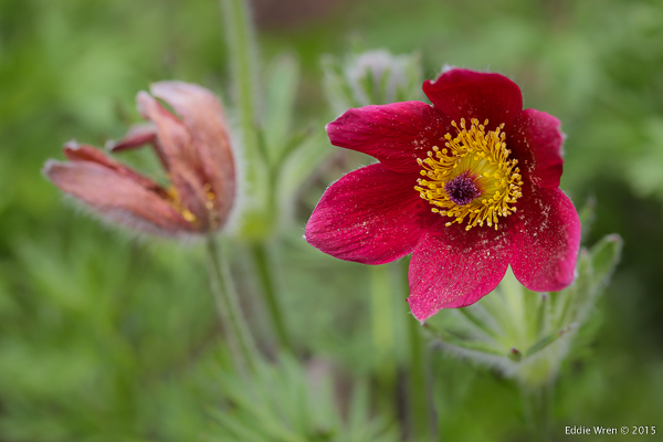 'Rote Glocke' Pasque Flower