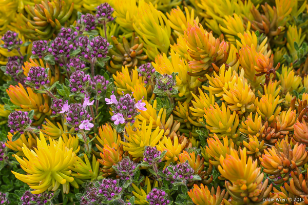'Pink Chintz' Wild Thyme among 'Angelina' Stonecrop