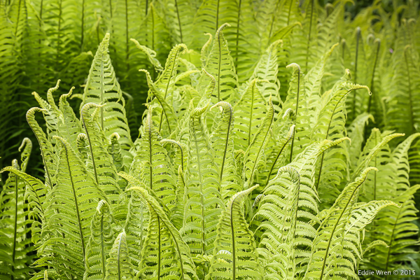 And last but not least some wonderful ferns