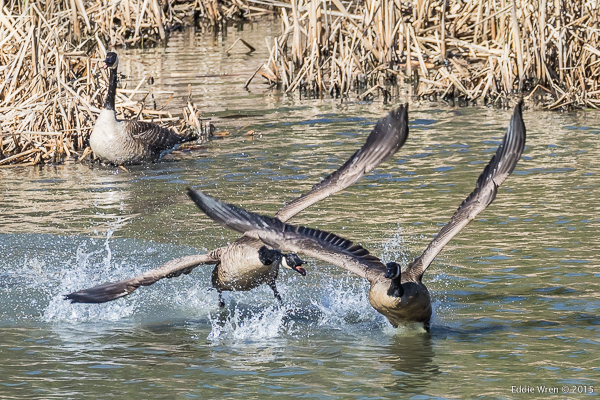 Nesting territory dispute - Canada Geese