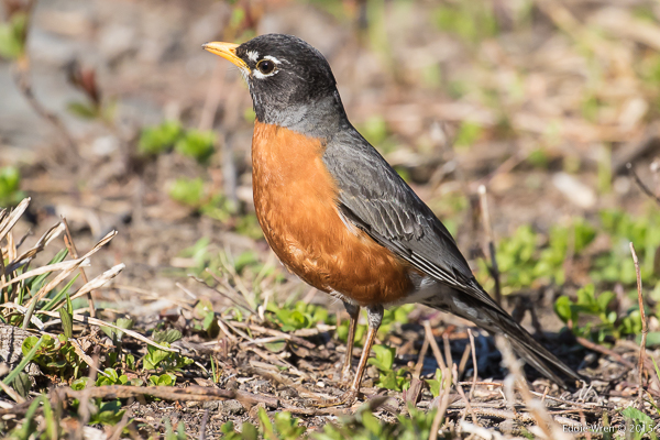 An American Robin, nothing much like the Eurasian Robin from which, presumably, a homesick immigrant gave this ginger-breasted species of thrush its hand-me-down name.