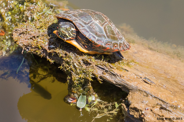 Juvenile Eastern Painted Turtle plus fish and a Water Strider (lower right)