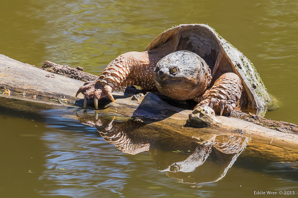 A Snapping Turtle that appears to need a bigger log to haul-out onto.