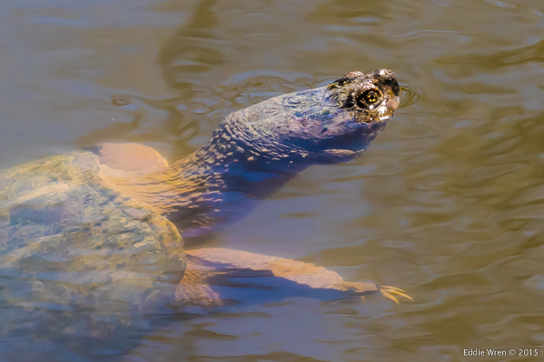 Snapping Turtle on the move... Slowly!