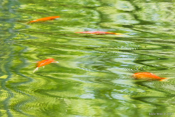 Koi Carp in the lake at Olana