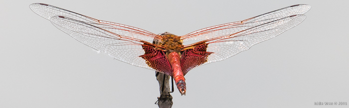 Carolina Saddlebags, rear view to show wing detail