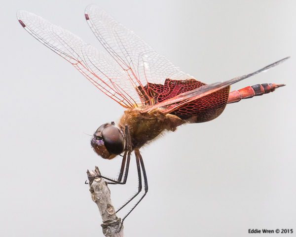 A male Carolina Saddlebags dragonfly
