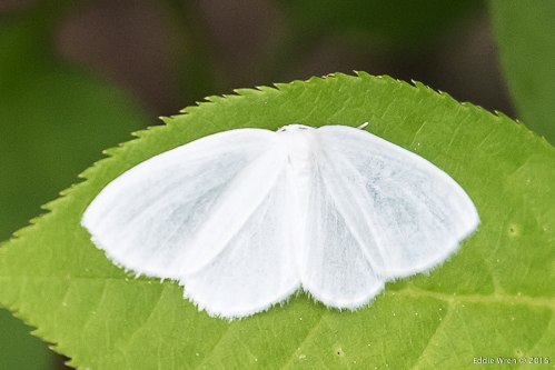 I believe this to be a White Spring moth