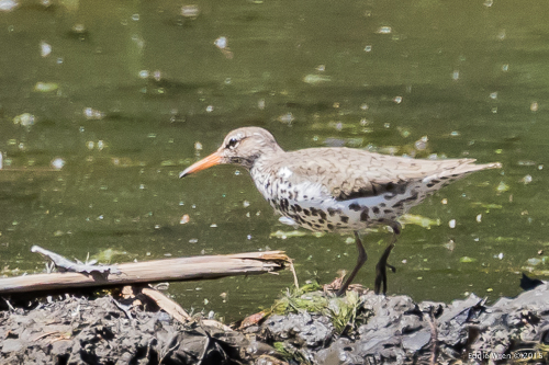 Spotted Sandpiper (Actitis macularia) in breeding plumage
