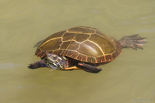 Eastern Painted Turtle in the water