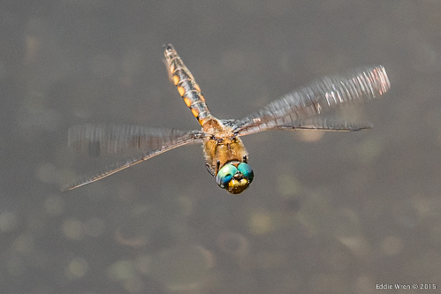 A male baskettail patrolling his territory, over water, waiting for a female to arrive