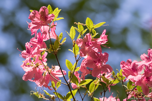 Not exactly a native species, but azaleas are an obvious, spring high-point in virtually any garden.
