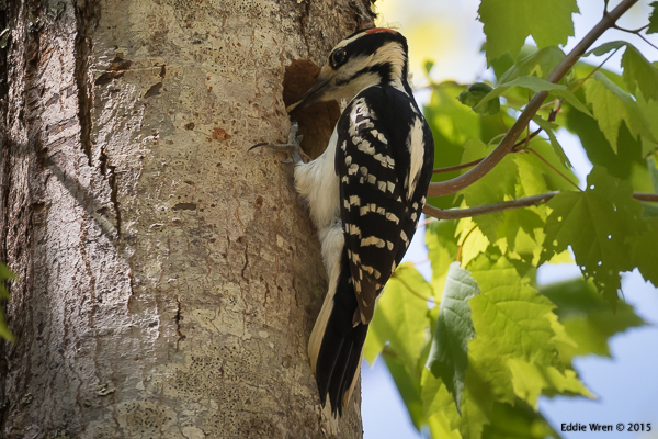 Male Hairy Woodpecker feeding young at nest hole