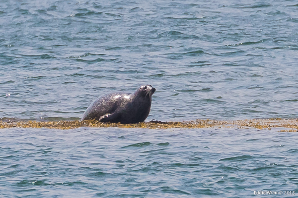 Harbor Seal, just off shore