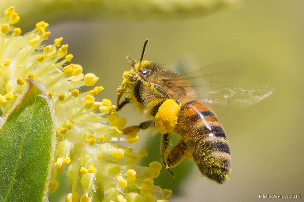 How much more pollen can this Honey Bee carry?