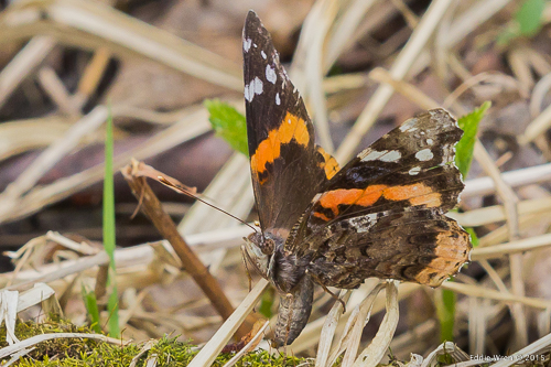 A Red Admiral butterfly, laying an egg