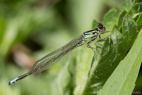 A beautiful male 'Eastern Forktail' damselfly