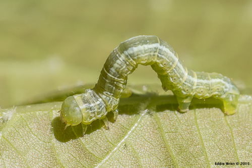 A geometrid moth larva, looping.