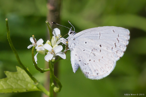 Spring Azure butterfly on the invasive plant, Garlic Mustard