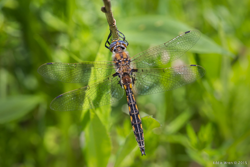 A 'baskettail' species of dragonfly, and - because it is perched in bushes away from water - this one is likely to be a female